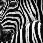 Safari Afrika – i tak může vypadat dovolená poté, co začneme sázet na kvalitu